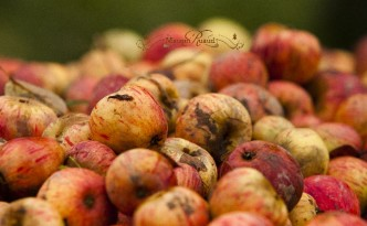 pommes fraîchement récoltées